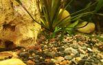 Аквариумная вишенка – домашняя аквариумистика