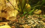 Аксолотль: условия содержания и ухода, фото-видео обзор – домашняя аквариумистика