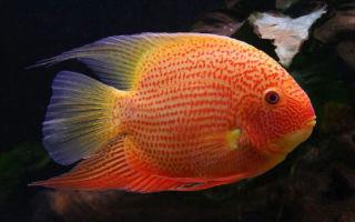Цихлазома северум – домашняя аквариумистика