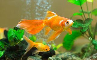 Какие золотые рыбки самые популярные? » мир аквариумных рыбок – домашняя аквариумистика