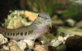 Щиповка – аквариумная рыбка, содержание, фото-видео обзор – домашняя аквариумистика
