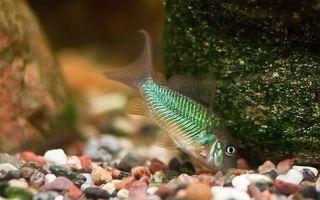 Брохис – зеленый или изумрудный сомик – домашняя аквариумистика