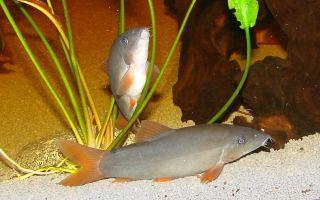 Боция модеста: содержание, фото-видео обзор – домашняя аквариумистика