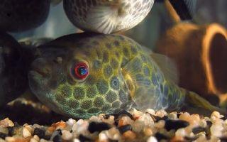 Тетрадон тайландский – домашняя аквариумистика