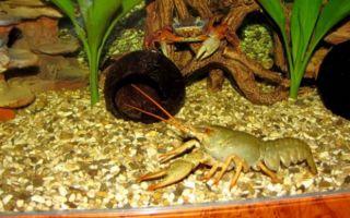 Особенности размножения раков в аквариуме – домашняя аквариумистика