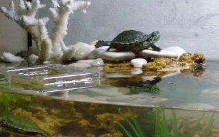Красноухая черепаха в домашних условиях: содержание, уход, кормление, фото-видео обзор – домашняя аквариумистика