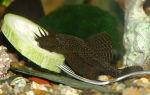Цихлазома меека – домашняя аквариумистика