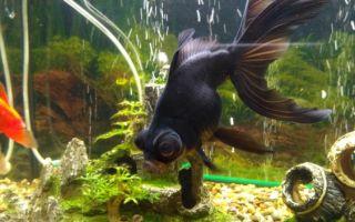 Рыбка с большими выпученными глазами — это про телескопов – домашняя аквариумистика
