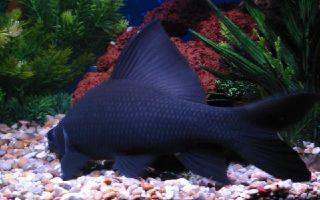 Лабео черный – домашняя аквариумистика