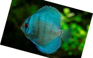 Дискус голубой – symphysodon aequifasciatus – домашняя аквариумистика