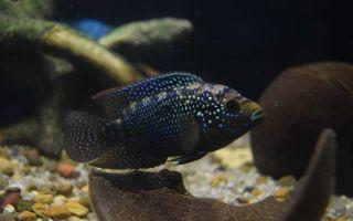 Цихлазома восьмиполосая – домашняя аквариумистика