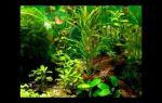 Рдест гайя содержание в аквариуме, фото-видео обзор – домашняя аквариумистика