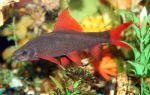 Лабео зеленый или френатус: содержание, совместимость,  фото-видео обзор – домашняя аквариумистика