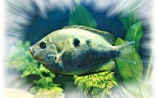 Этроплюс пятнистый: содержание, фото-видео обзор – домашняя аквариумистика