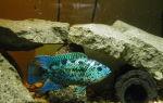 Блю демпси: содержание, совместимость, фото-видео обзор – домашняя аквариумистика