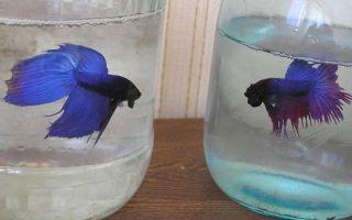 Почему петушков называют бойцовской рыбкой? – домашняя аквариумистика