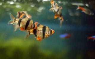 Барбус суматранский: содержание, совместимость, размножение, фото-видео обзор – домашняя аквариумистика