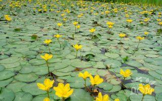 Болотноцветник щитолистный или нимфейник щитолистный: содержание, фото-видео обзор – домашняя аквариумистика