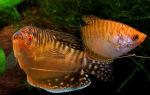 Гурами золотой – домашняя аквариумистика