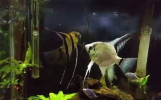 Скалярии размножение и нерест – домашняя аквариумистика