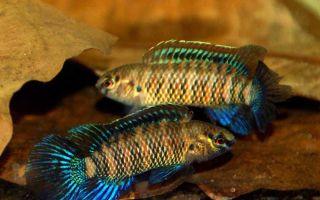 Рыба хамелеон или бадис бадис – домашняя аквариумистика