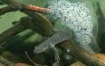 Редкая амфибия отложила кладку яиц! – домашняя аквариумистика