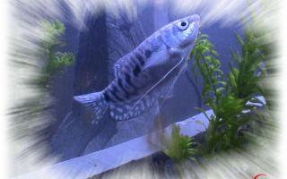 Гурами голубой: содержание, совместимость, фото-видео обзор – домашняя аквариумистика