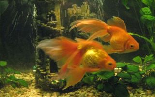 Вуалехвост – домашняя аквариумистика