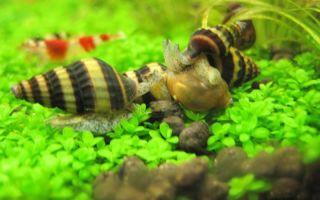 Хелена аквариумная улитка – домашняя аквариумистика