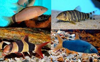 Боции содержание, совместимость, виды, фото-видео обзор – домашняя аквариумистика
