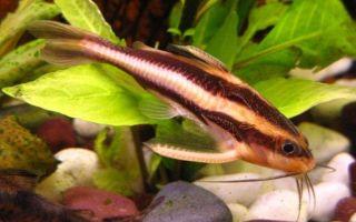 Платидорас полосатый сом: содержание, совместимость, фото-видео обзор – домашняя аквариумистика