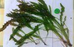Апоногетон живородящий, волнистый и другие виды – домашняя аквариумистика