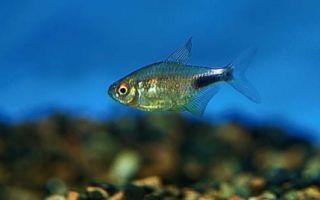 Хемиграммус пульхер или тетра гранатовая – домашняя аквариумистика