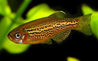 Данио леопардовый: содержание, совместимость, фото-видео обзор – домашняя аквариумистика