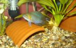 Апистограмма борелли – домашняя аквариумистика