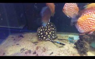 Пресноводный аквариумный скат моторо: содержание, фото-видео обзор – домашняя аквариумистика