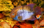 Цихлазома сэджика – домашняя аквариумистика