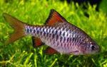 Барбус олиголепис: содержание, совместимость, фото-видео обзор – домашняя аквариумистика