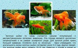 Золотая рыбка – о происхождении и видах – домашняя аквариумистика