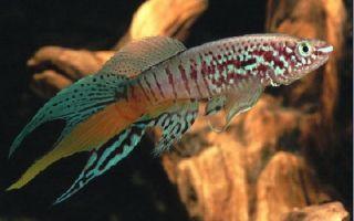 Голубой афиосемион – фазан! – домашняя аквариумистика