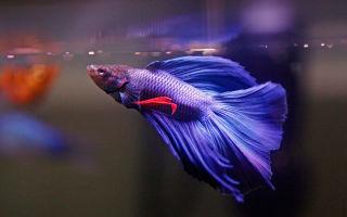 Петушок, бетта или бойцовская рыбка – домашняя аквариумистика