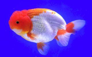 Львиноголовка – золотая рыбка: содержание, совместимость, разведение, фото-видео обзор – домашняя аквариумистика