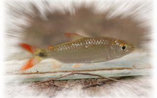 Брицинус нурзе – домашняя аквариумистика