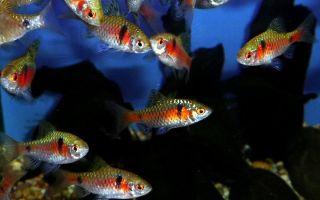 Барбус алый содержание, совместимость, разведение, фото-видео обзор – домашняя аквариумистика