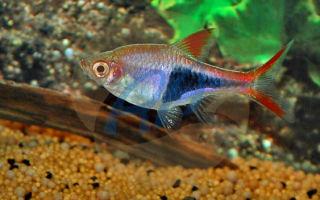 Расбора гетероморфа – домашняя аквариумистика