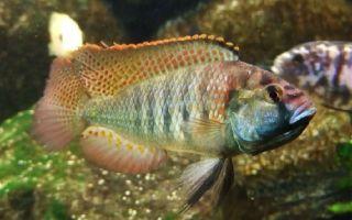 Астатотиляпия бертона – домашняя аквариумистика