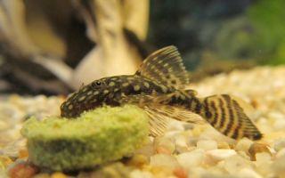 Содержание анциструсов (сомы прилипалы) – домашняя аквариумистика