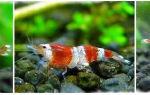 Креветка кристалл: содержание, совместимость, размножение, фото-видео обзор – домашняя аквариумистика