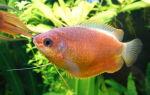 Колиза лябиоза – домашняя аквариумистика