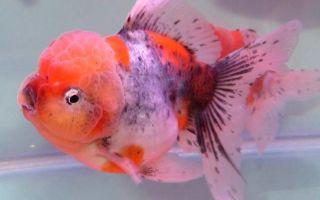 Гирошима – золотая рыбка – домашняя аквариумистика